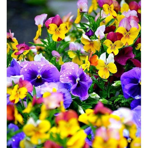 PANSY 'Swiss Giants Mixed' - Boondie Seeds