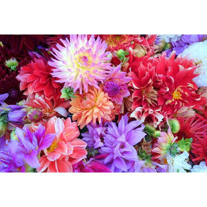 Dahlia 'Decorative Giants Mixed' - Boondie Seeds