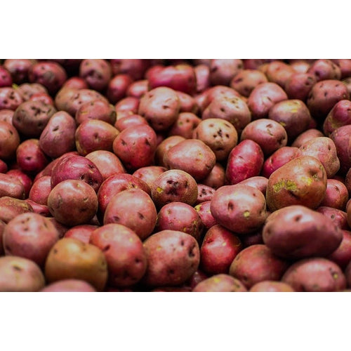 SEED POTATO - Red Norland