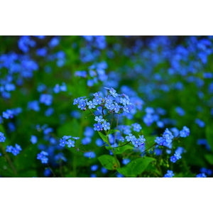 FORGET ME NOT 'Chinese Firmament Blue' / Large flowered Forget me not - Boondie Seeds