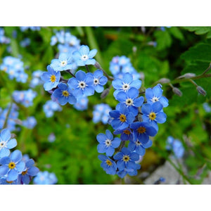 FORGET ME NOT 'Indigo Blue' - Boondie Seeds