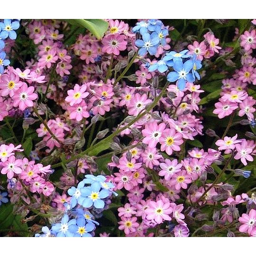 FORGET ME NOT 'Chinese Firmament Pink' / Large flowered Forget me not