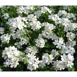 FORGET ME NOT White - Boondie Seeds