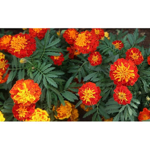 MARIGOLD 'Tiger Eyes' - Boondie Seeds