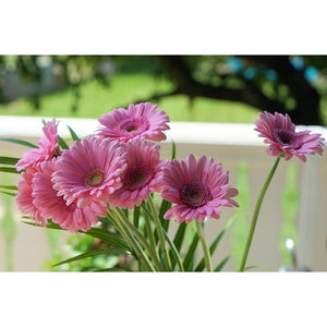 GERBERA 'Single Flowered Hybrids Mix' seeds