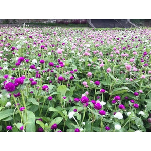 GLOBE AMARANTH / GOMPHRENA 'Tall  Mix' *Edible* - Boondie Seeds
