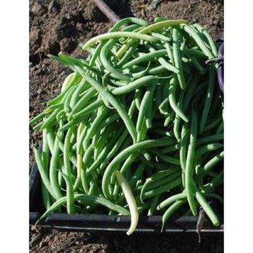 BEAN DWARF 'Blue Lake' seeds