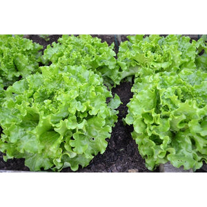 LETTUCE 'Salad Bowl Green' - Boondie Seeds
