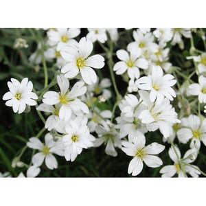 BABY'S BREATH gypsophila 'White' / Covent Garden - Boondie Seeds