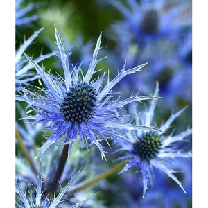 SEA HOLLY / ERYNGIUM PLANUM 'Deep Blue' - Boondie Seeds