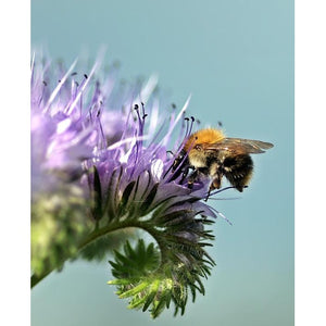 LACY PHACELIA / BLUE TANSY - Boondie Seeds