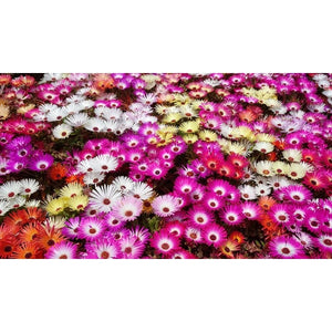 LIVINGSTONE DAISY / Ice Plant - Boondie Seeds