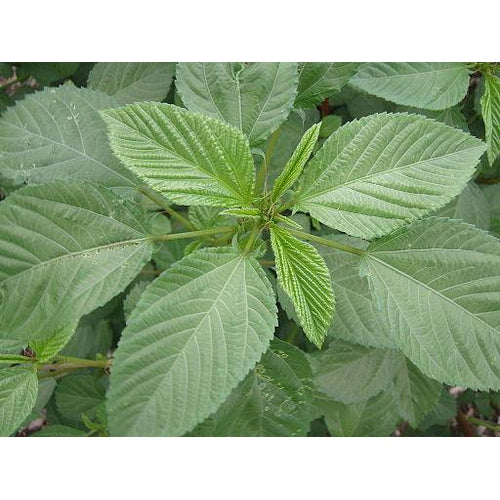 Egyptian Spinach / Jute / Jew's Mallow / Corchorus olitorius - Boondie Seeds