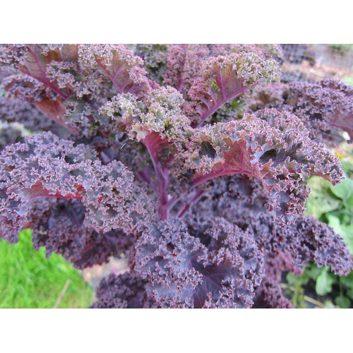 BORECOLE / KALE 'Red'
