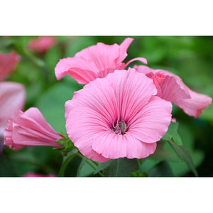 ROSE MALLOW 'Silvercup' / Lavatera trimestris - Boondie Seeds
