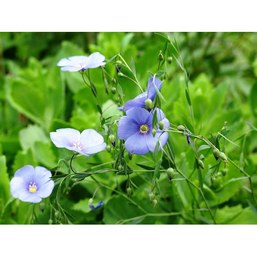 BLUE FLAX / Linseed / Common Flax - Boondie Seeds