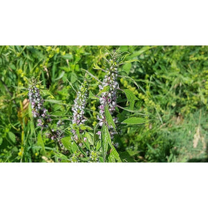 MOTHERWORT - Boondie Seeds