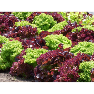 LETTUCE 'Salad Bowl Mix' Green and Red - Boondie Seeds
