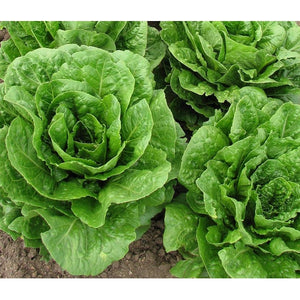 LETTUCE 'Cos' / Romaine - Boondie Seeds