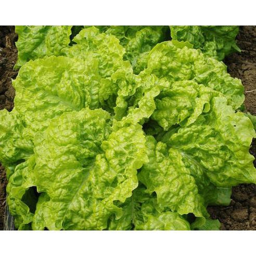 LETTUCE 'Black Seeded Simpson' - Boondie Seeds
