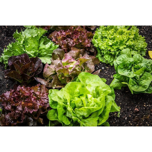 LETTUCE COLLECTION 6 packets - Boondie Seeds