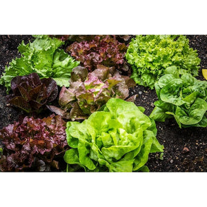LETTUCE COLLECTION 10 packets - Boondie Seeds