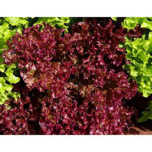 LETTUCE 'Lolla Rossa' - Boondie Seeds