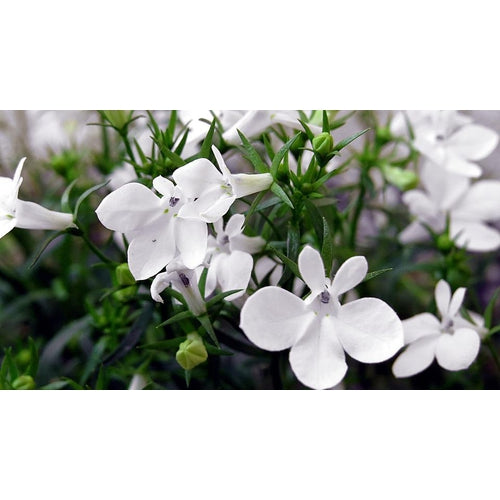 LOBELIA 'White Lady' - Boondie Seeds