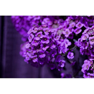 SWEET ALYSSUM 'Violet Queen' - Boondie Seeds