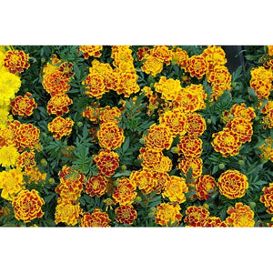 FRENCH MARIGOLD 'Sparky Mixed' - Boondie Seeds