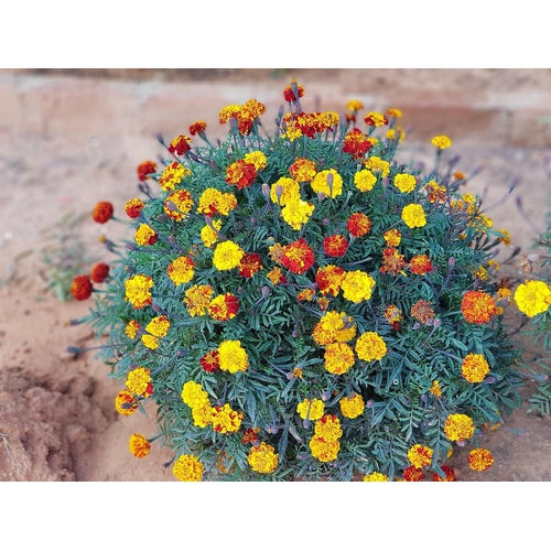 FRENCH MARIGOLD 'Sparky Mixed'
