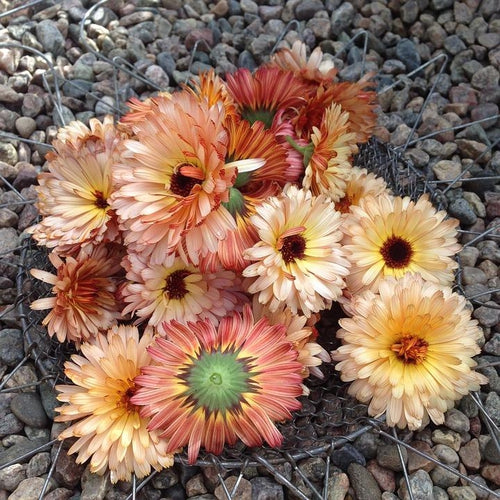 CALENDULA / English Marigold 'Pink Surprise' - Boondie Seeds