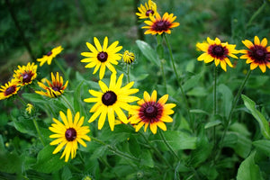 Rudbeckia 'GLORIOSA DAISIES MIXED' / Black Eyed Susan Daisy seeds