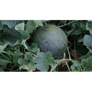 ROCKMELON 'Collective Farmwoman' - Boondie Seeds