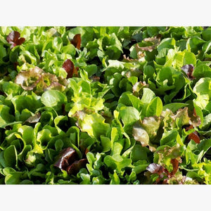 LETTUCE 'Gourmet Mixed' / Heirloom Mix - Boondie Seeds