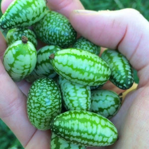 Mexican Sour Gherkin  / melothria scabra / Mouse Melon - Boondie Seeds