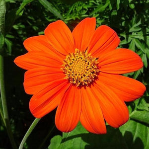 MEXICAN SUNFLOWER - Boondie Seeds