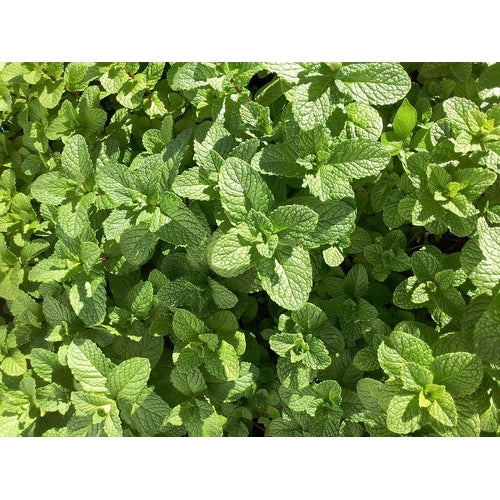 SPEARMINT /Garden Mint