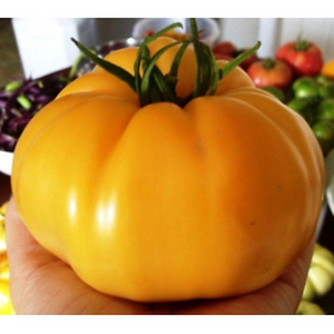 TOMATO 'Mortgage Lifter Yellow' seeds