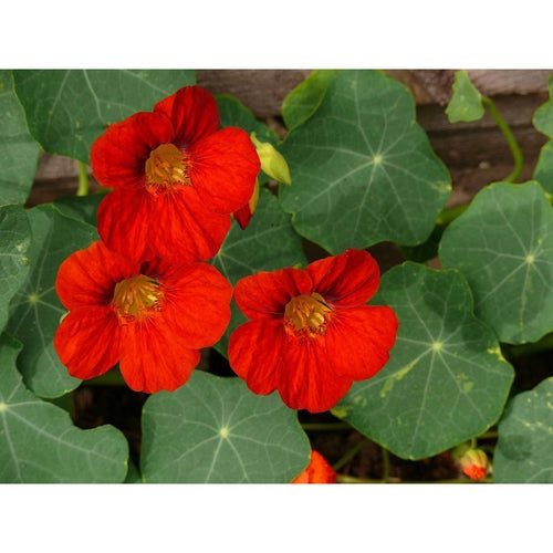 NASTURTIUM 'Empress of India' - Boondie Seeds