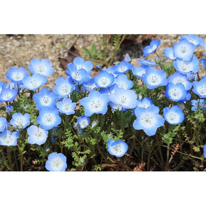 NEMOPHILA 'Baby Blue Eyes' - Boondie Seeds