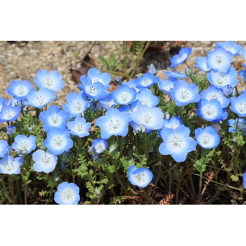 NEMOPHILA 'Baby Blue Eyes'