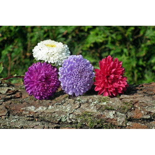 ASTER 'Tall China Mix' seeds