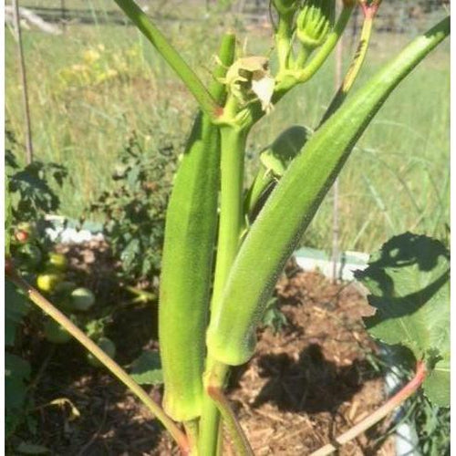 OKRA 'Philippine Lady Finger' - Boondie Seeds