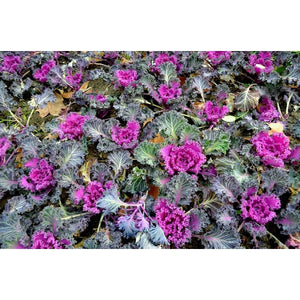 ORNAMENTAL KALE 'Frilly Mix' - Boondie Seeds