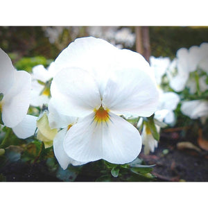 VIOLA 'White Perfection' - Boondie Seeds