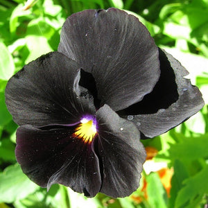 VIOLA 'Clear Crystals Black' / pansy - Boondie Seeds