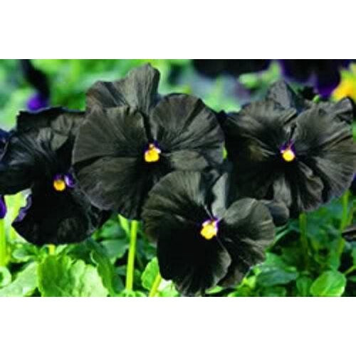 VIOLA 'Clear Crystals Black' / pansy
