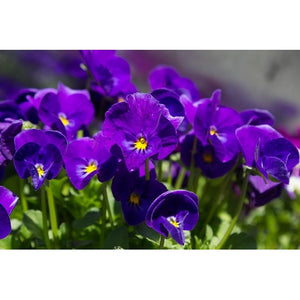 VIOLA 'King Henry' / pansy seeds