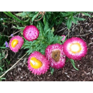 EVERLASTING DAISY MIX / PAPER DAISY / STRAWFLOWER *Native* - Boondie Seeds